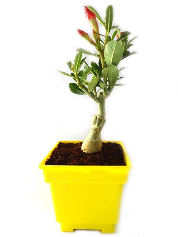 Adenium Bonsai in Yellow Square Colorista Pot