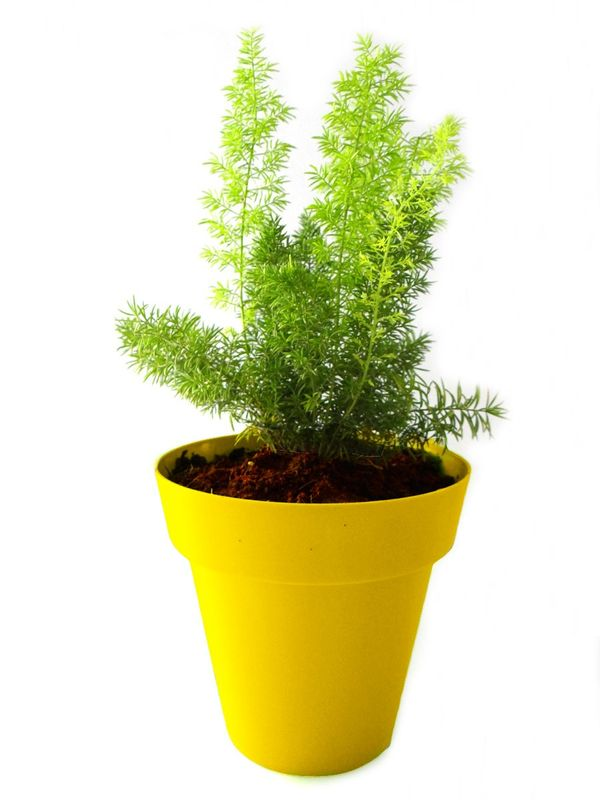 Asparagus Fern in Yellow Colorista Pot