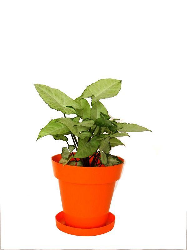 White Syngonium in Orange Colorista Pot