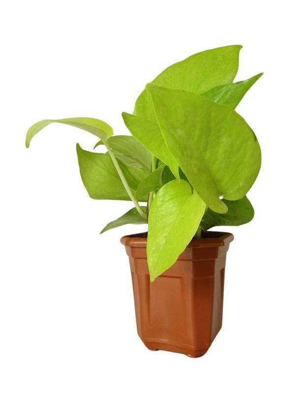 Good Luck Golden Money Plant in Brown Hexa Pot