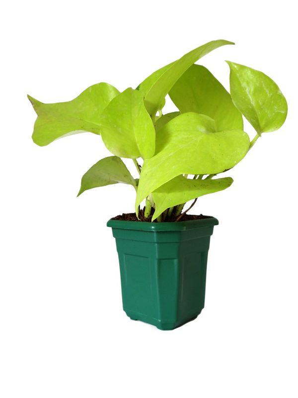 Good Luck Golden Money Plant in Green Hexa Pot