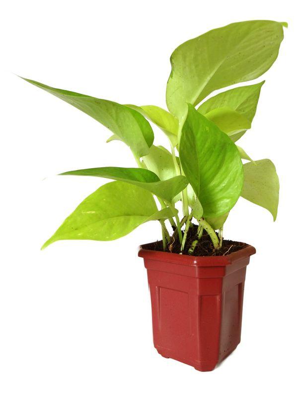 Good Luck Golden Money Plant in Maroon Hexa Pot