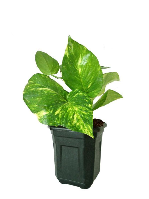 Good Luck Hybrid Money Plant in Black Hexa Pot