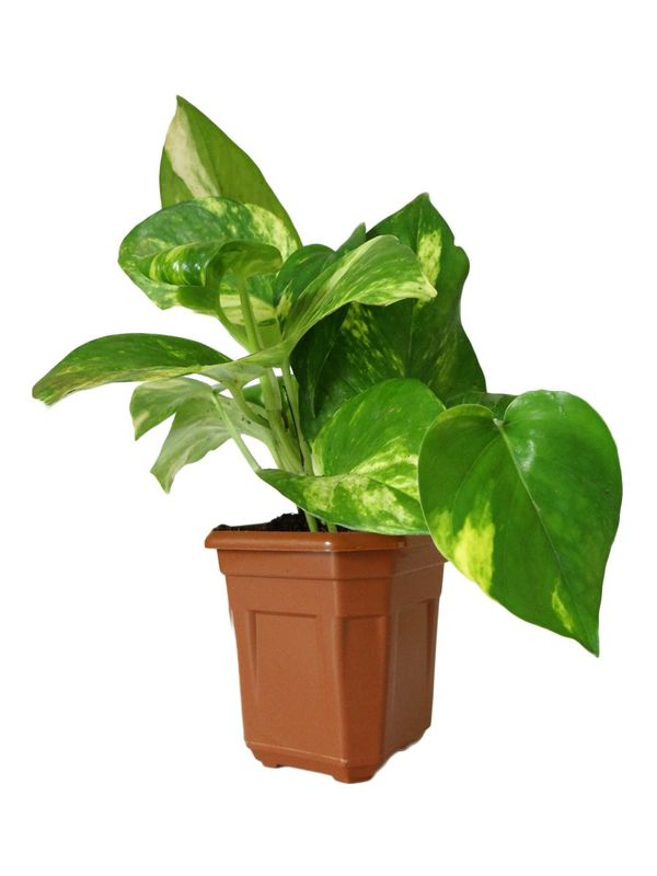 Good Luck Hybrid Money Plant in Brown Hexa Pot
