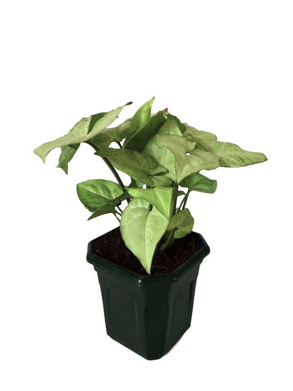 Syngonium White in Black Hexa Pot