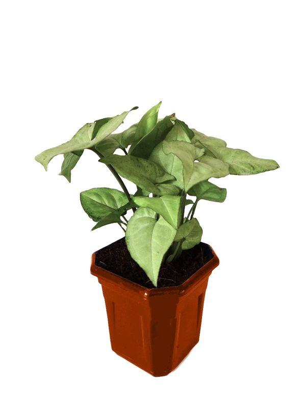 Syngonium White in Brown Hexa Pot