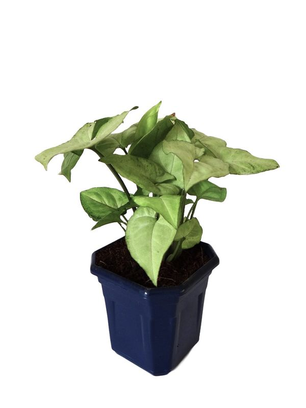 Syngonium White in Blue Hexa Pot