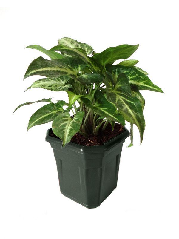 Syngonium Green in Black Hexa Pot