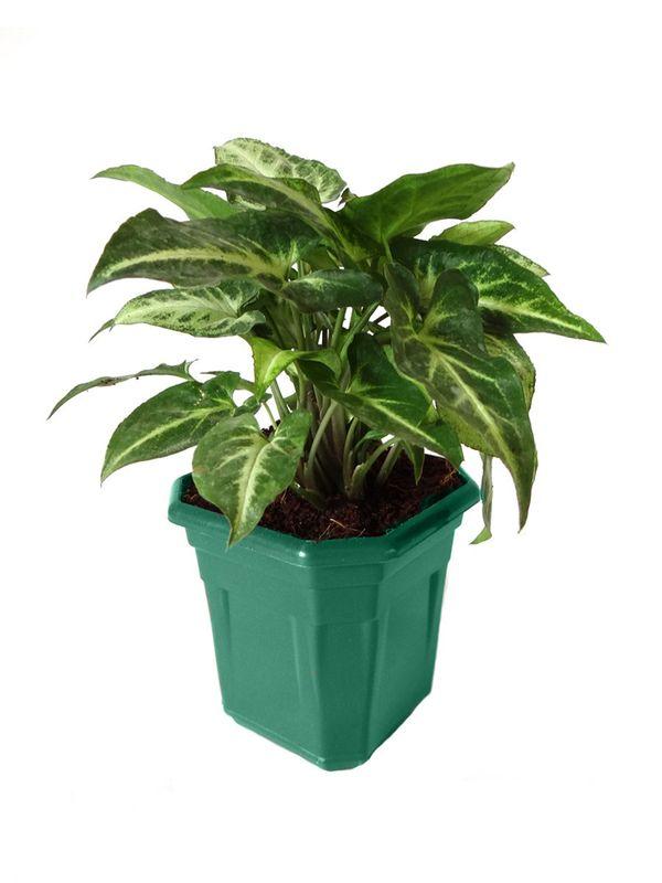 Syngonium Green in Green Hexa Pot