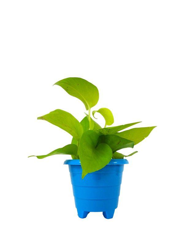 Good Luck Golden Money Plant in Blue Rainbow Pot