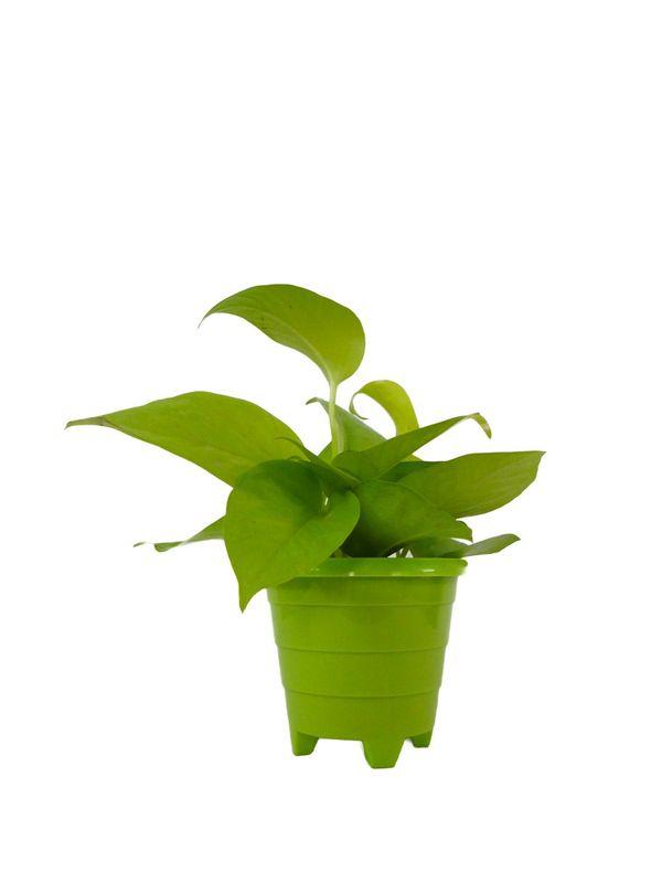 Good Luck Golden Money Plant in Green Rainbow Pot