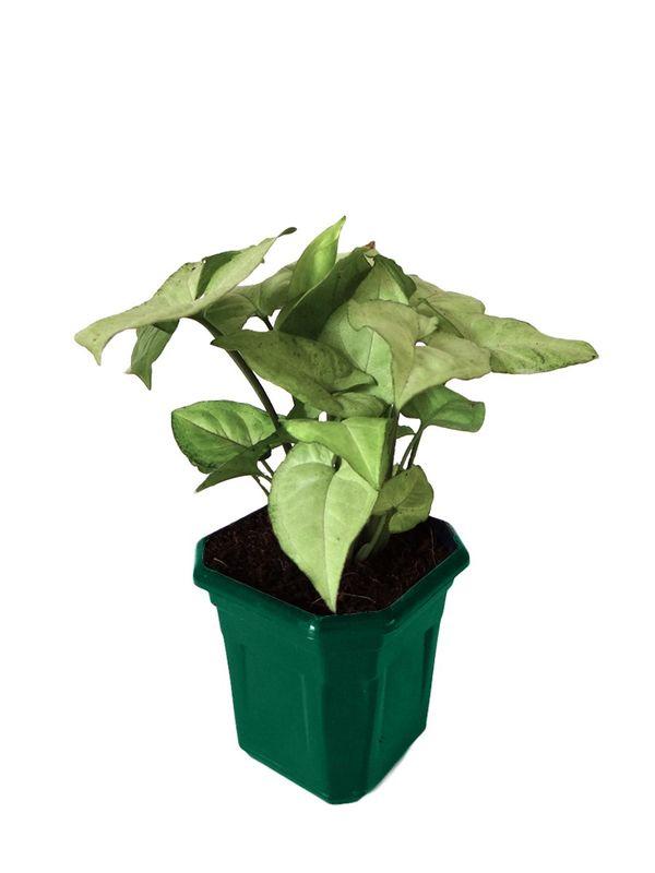 Syngonium White in Green Hexa Pot