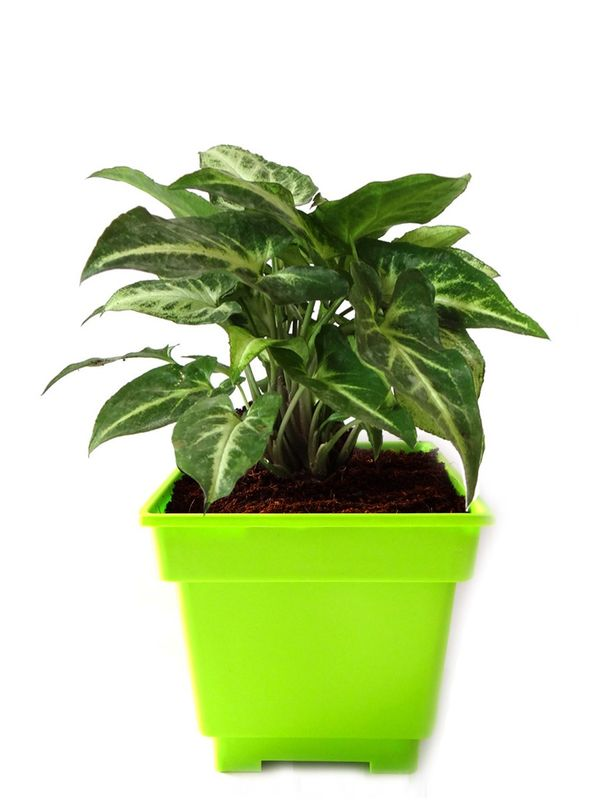 Syngonium Green in Green Square Colorista Pot
