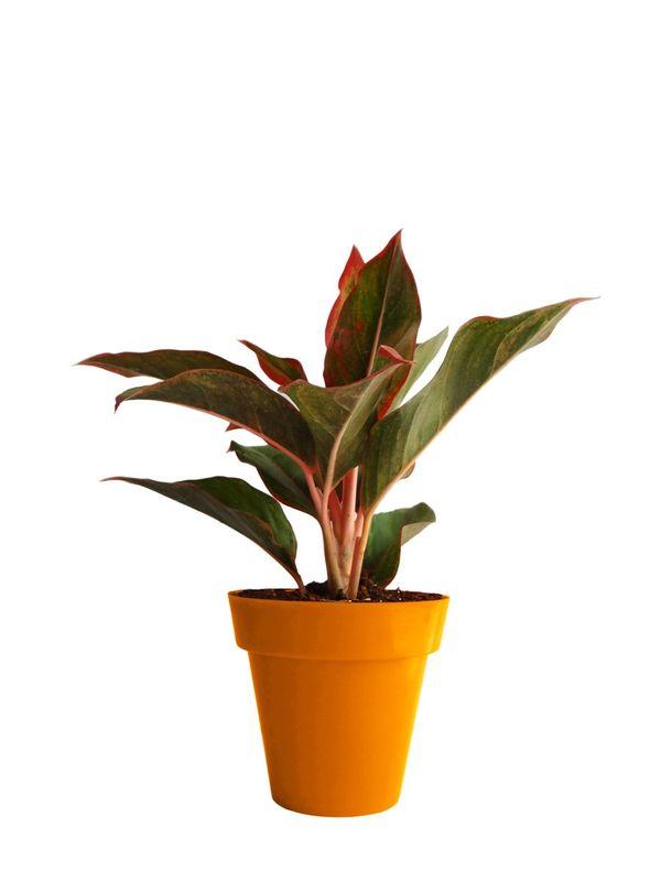Red Aglaonema Siam Aurora (Chinese Evergreen) in Orange Colorista Pot