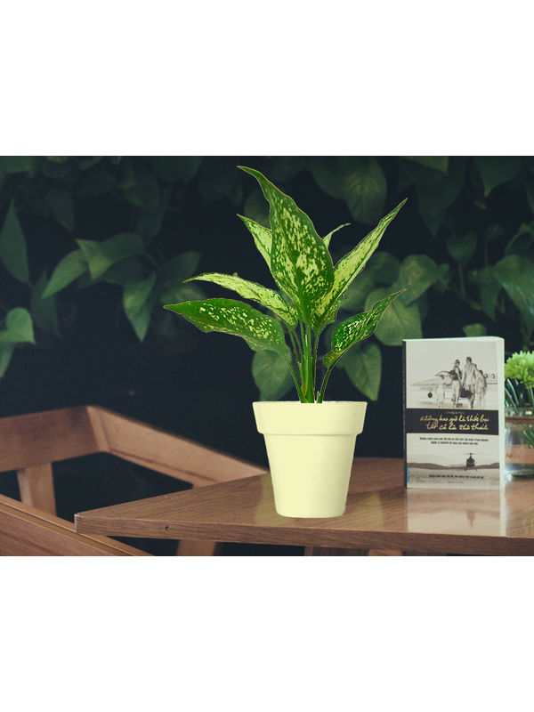 Aglaonema Green in White Colorista Pot
