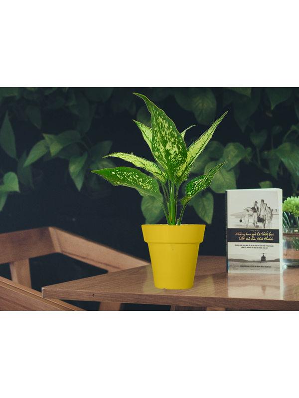 Aglaonema Green in Yellow Colorista Pot