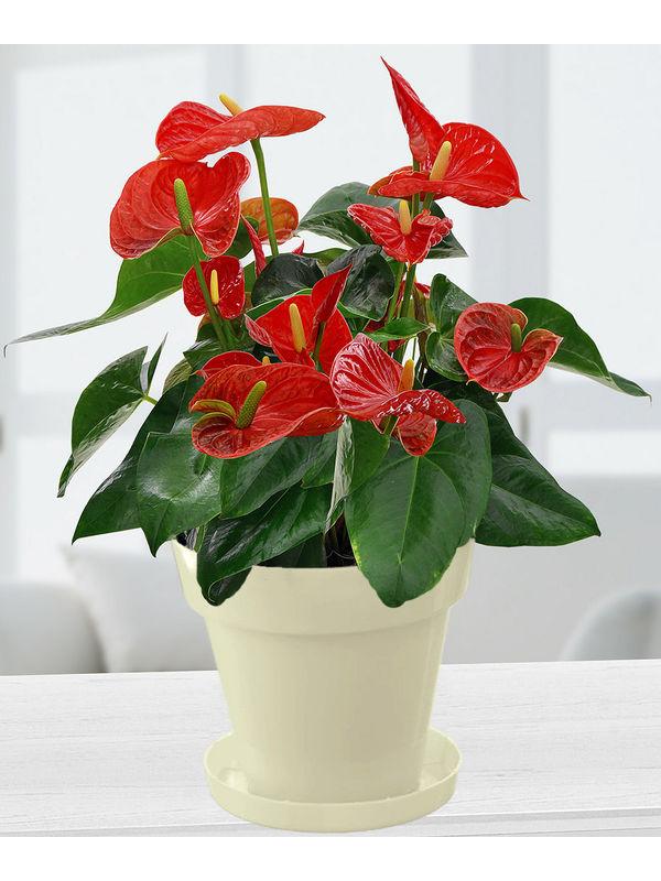 Exotic Anthrium Red Plant in White Colorista Pot