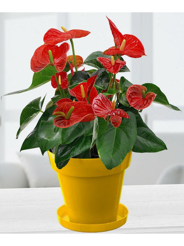 Exotic Anthrium Red Plant in Yellow Colorista Pot