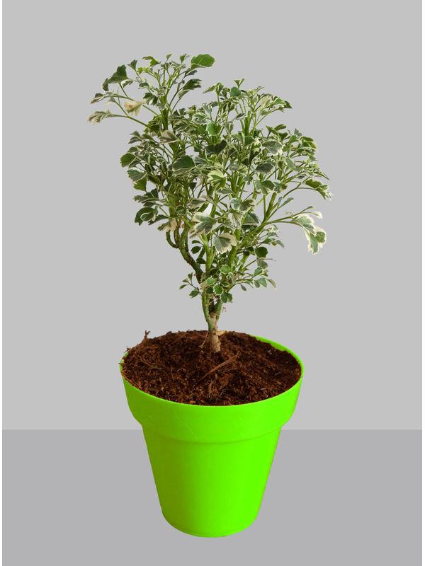 Rolling Nature Gold Aralia Plant in Small Green Colorista Pot