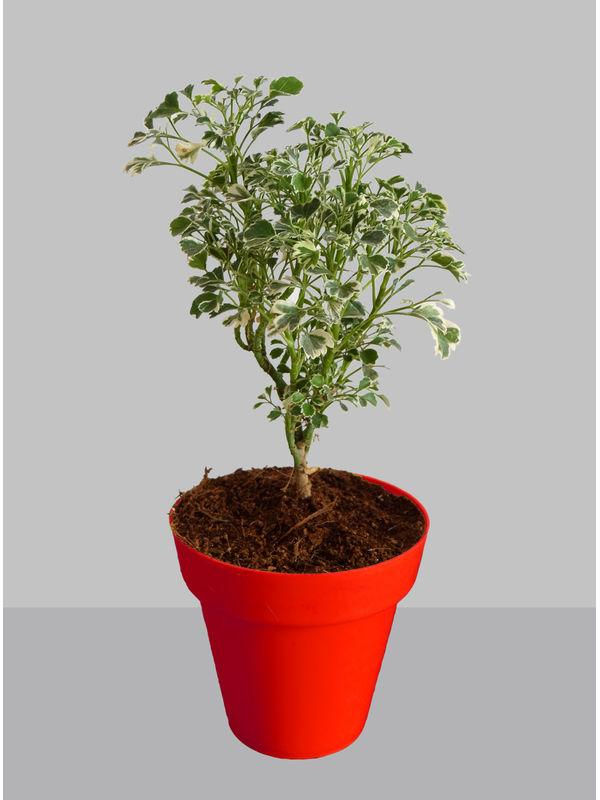 Rolling Nature Gold Aralia Plant in Small Red Colorista Pot