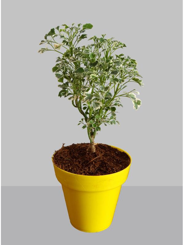 Rolling Nature Gold Aralia Plant in Small Yellow Colorista Pot