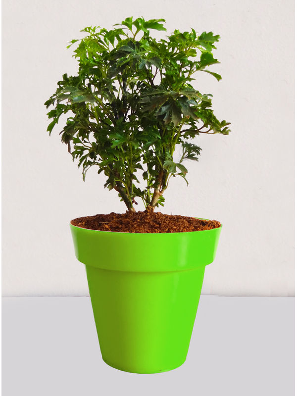 Rolling Nature Green Aralia Plant in Small Green Colorista Pot