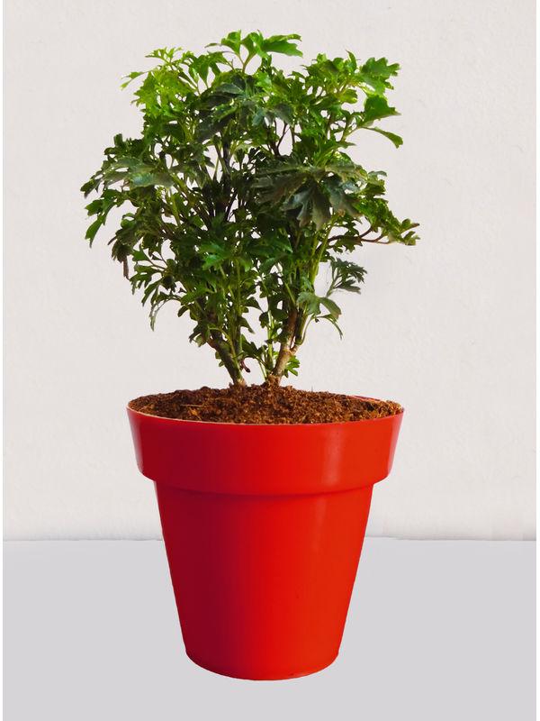 Rolling Nature Green Aralia Plant in Small Red Colorista Pot