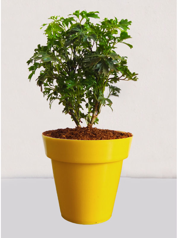 Rolling Nature Green Aralia Plant in Small Yellow Colorista Pot