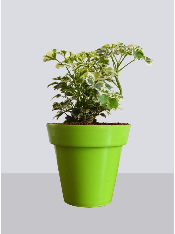Rolling Nature Snowflake Aralia Plant in Small Green Colorista Pot