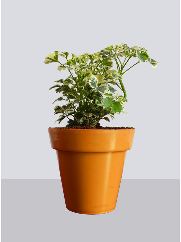 Rolling Nature Snowflake Aralia Plant in Small Orange Colorista Pot