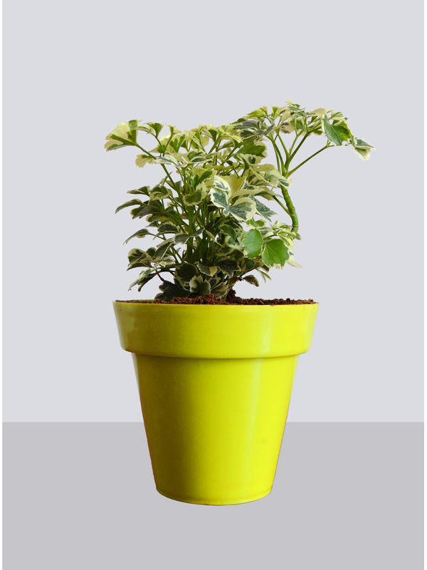 Rolling Nature Snowflake Aralia Plant in Small Yellow Colorista Pot