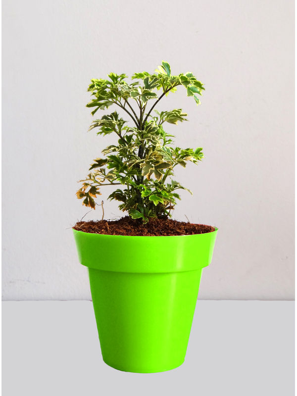 Rolling Nature Variegated Aralia Plant in Small Green Colorista Pot