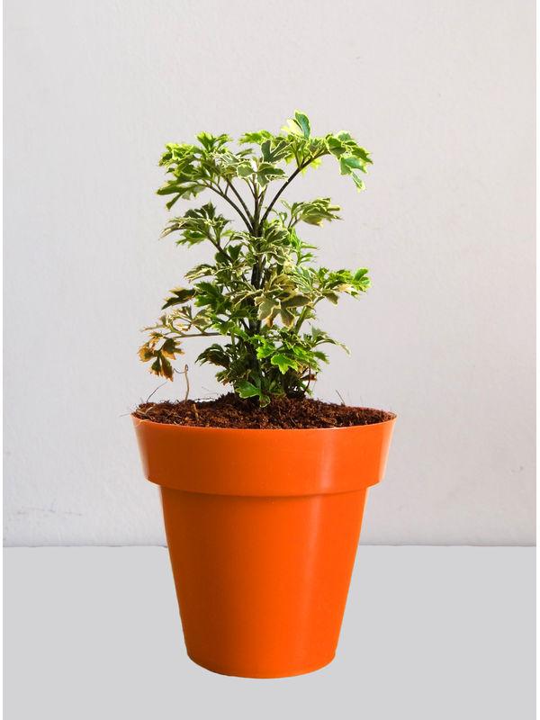 Rolling Nature Variegated Aralia Plant in Small Orange Colorista Pot