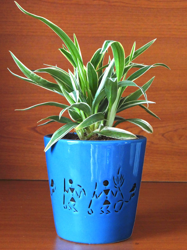 Air Purifying Spider Plant in Blue Bucket Aroez Ceramic Pot