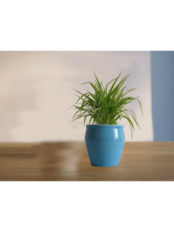 Air Purifying Spider Plant in Blue Iris Ceramic Pot