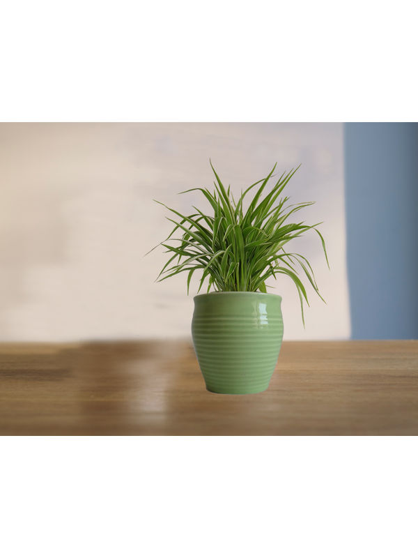 Air Purifying Spider Plant in (Green or Light Green or Yellow) Iris Ceramic Pot
