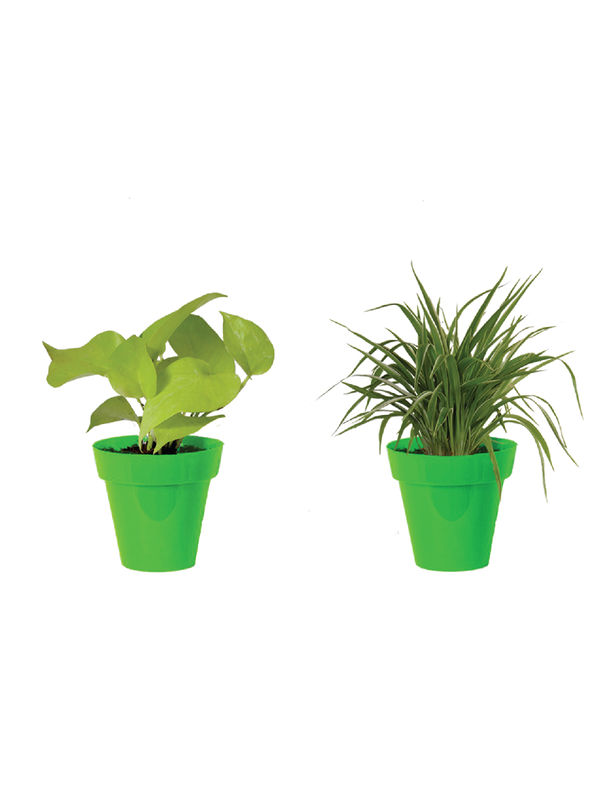 Rolling Nature Combo of Air Purifying Golden Money Plant and Spider Plant  in Small Green Colorista Pot