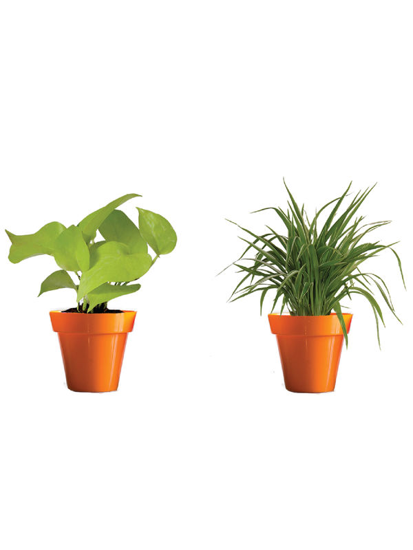 Rolling Nature Combo of Air Purifying Golden Money Plant and Spider Plant  in Small Orange Colorista Pot