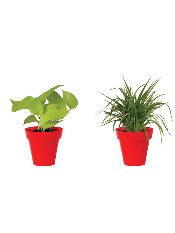 Rolling Nature Combo of Air Purifying Golden Money Plant and Spider Plant  in Small Red Colorista Pot