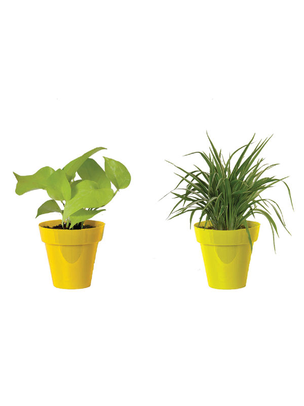 Rolling Nature Combo of Air Purifying Golden Money Plant and Spider Plant  in Small Yellow Colorista Pot