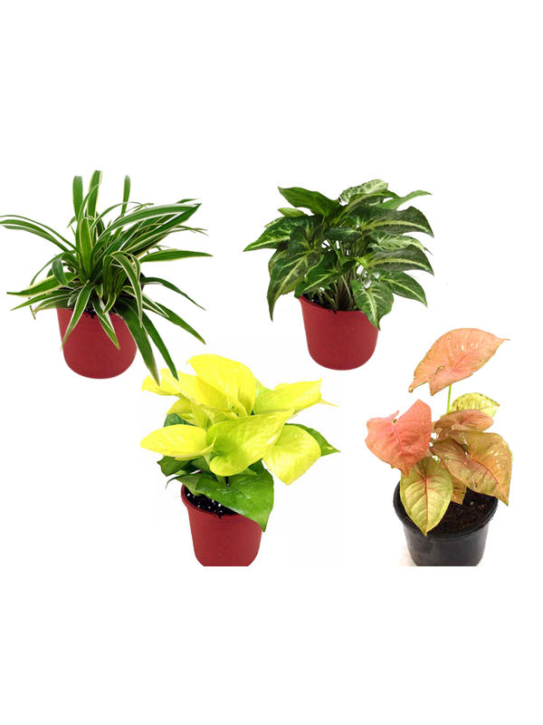 Spider Plant, Golden Pothos, Syngonium Green, Syngonium Pink Combo of Air Purifying Plants