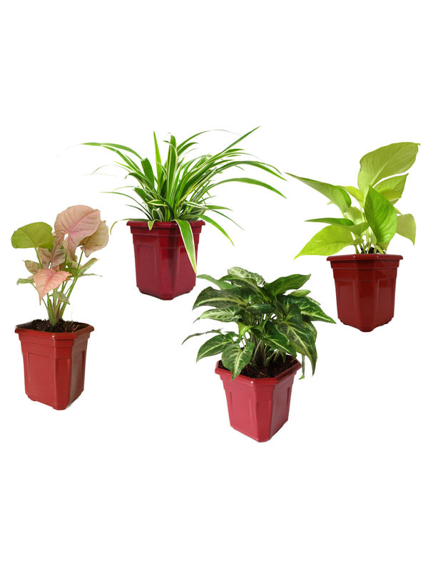 Spider Plant, Syngonium Green, Syngonium Pink, Golden Pothos Combo of Air Purifying Plants in Maroon Hexa Pot