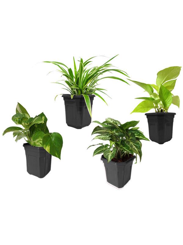 Spider Plant, Money Plant, Golden Pothos, Syngonium Green Combo of Air Purifying Plants in Black Hexa Pot