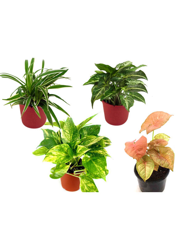 Spider Plant, Money Plant, Syngonium Green, Syngonium Pink Combo of Air Purifying Plants