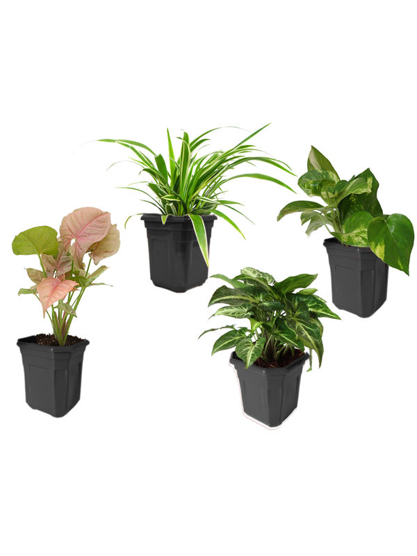 Spider Plant, Money Plant, Syngonium Green, Syngonium Pink Combo of Air Purifying Plants in Black Hexa Pot