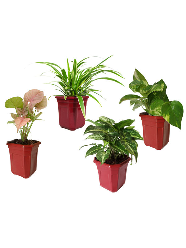 Spider Plant, Money Plant, Syngonium Green, Syngonium Pink Combo of Air Purifying Plants in Maroon Hexa Pot