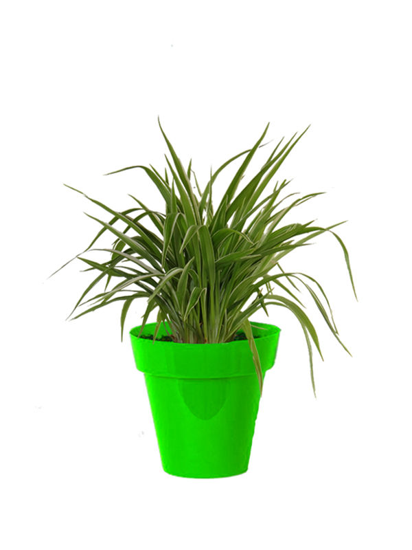 Rolling Nature Air Purifying Spider Plant in Small Green Colorista Pot
