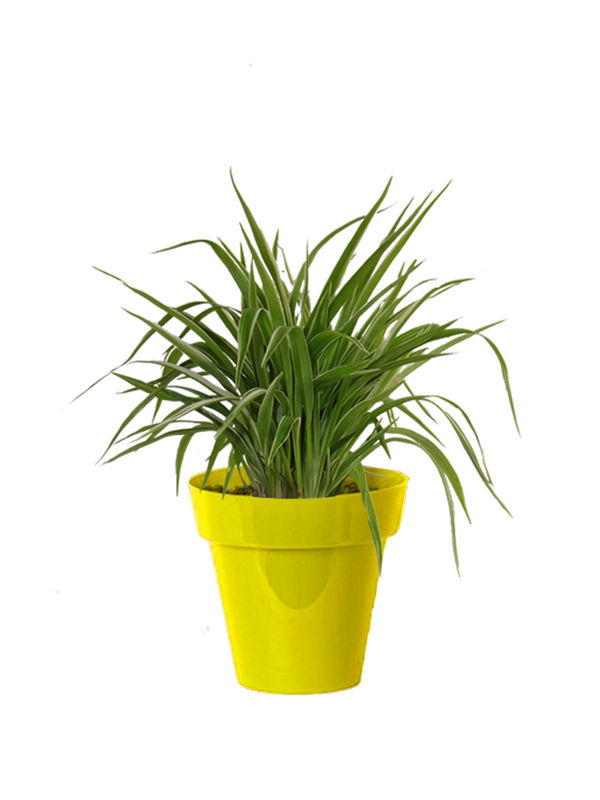 Rolling Nature Air Purifying Spider Plant in Small Yellow Colorista Pot