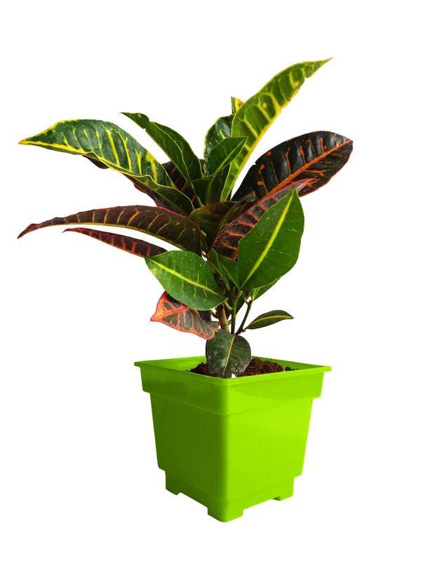 Croton Petra in Green Square Colorista Pot