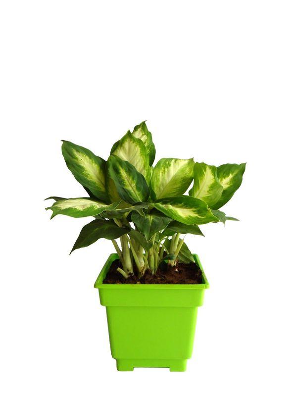 Dieffenbachia Camilla in Green Square Colorista Pot